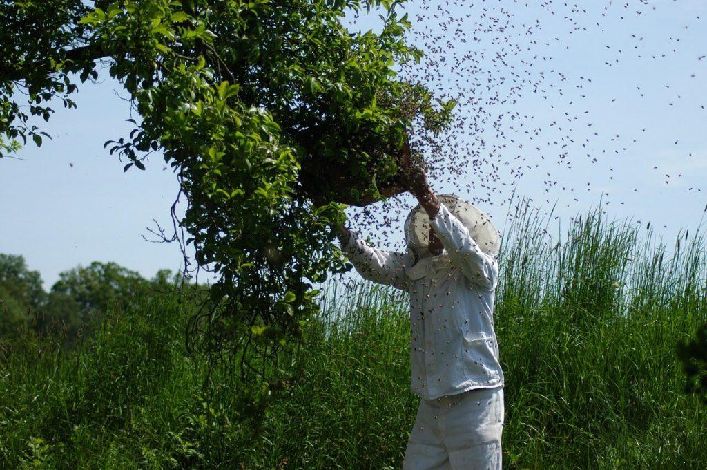 Schwärmende Bienen Imkerverein Essen Kettwig