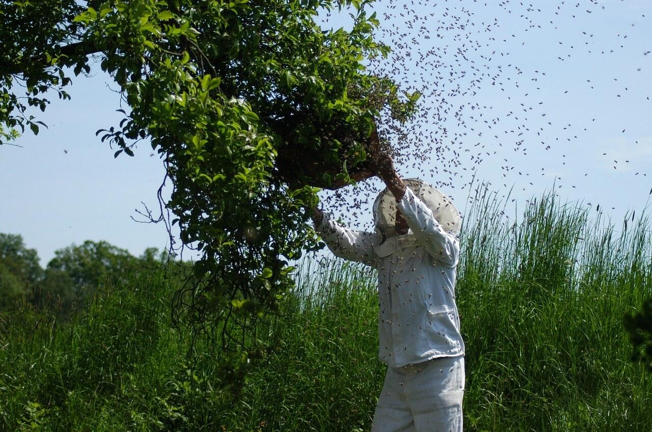 Schwärmende Bienen